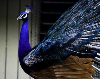 Photograph Bright Brilliant Cobalt Sapphire Blue Peacock Bird taken in National Everglades Park Florida Nature Wall Art Print Home Decor