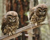 Two Curious - 5x7 Fine Art Photo of Spotted Owls - SimpleAspen