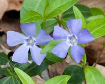 25 vinca minor ground cover plants ( periwinkle)