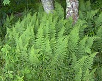 HARDY FERN COLLECTION (christmas,lady,hay scent