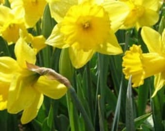 50 yellow daffodil wildflower bulbs