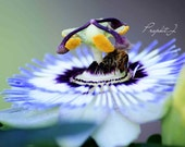 Photograph 8x12 Passion flower and honey bee