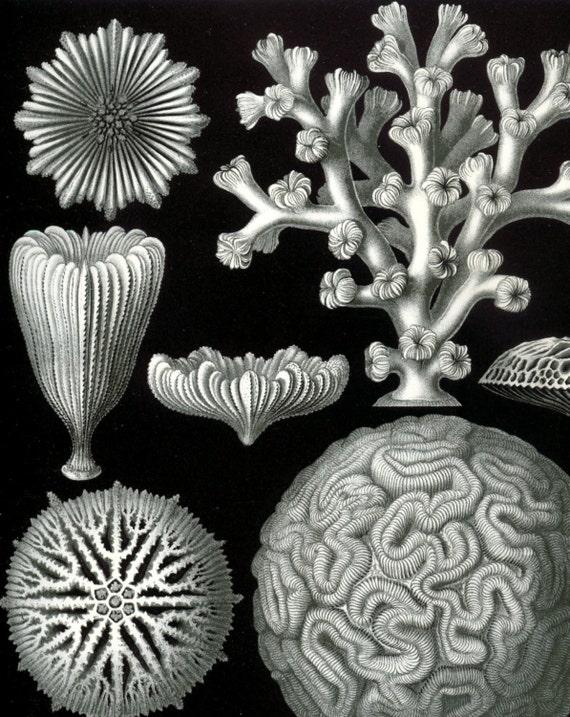 Haeckel Hexacoralla