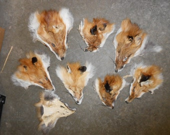Average Red Fox Face with Ears - 1 Assorted Face - Stock No. ARFF