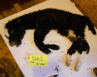 Black and White Extra Small Yak Calf Lifesize- Taxidermy Quality- Wet Tanned Lot No. YAK1
