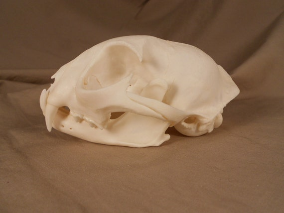 Bobcat Skull- Lynx rufus - Collector Quality Lot No. M185