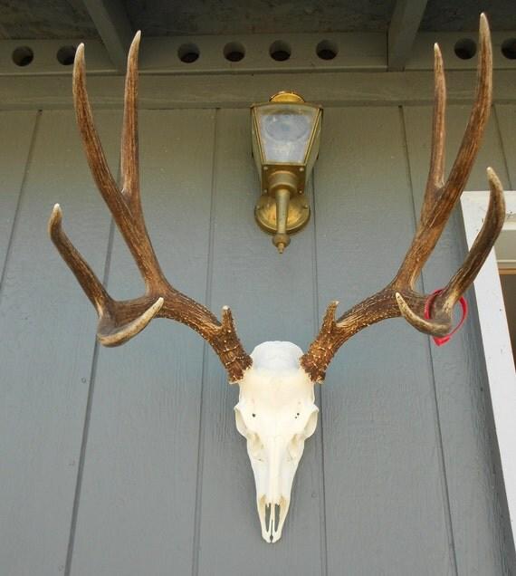 Tall Mule Deer Buck Skull - Odocoileus hemionus- European mount