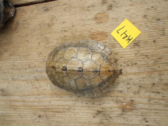 Medium Map  Turtle Shell  - Lot No. K47
