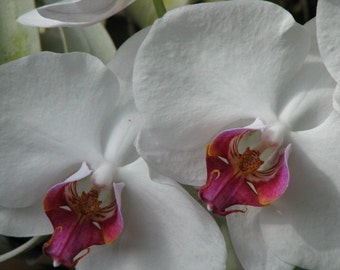 LOVELY WHITE ORCHIDS AT AMAZING CHICAGO BOTANIC GARDEN