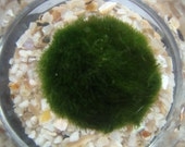 Small Nano Marimo Terrarium Aquarium Live Moss Ball