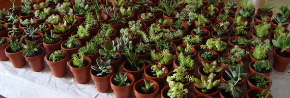 "Collection of 100 Succulent Assorted Plants in 2"" Clay Pots - Wedding, Guest Favors, Terrarium, Centerpieces, Gardens"