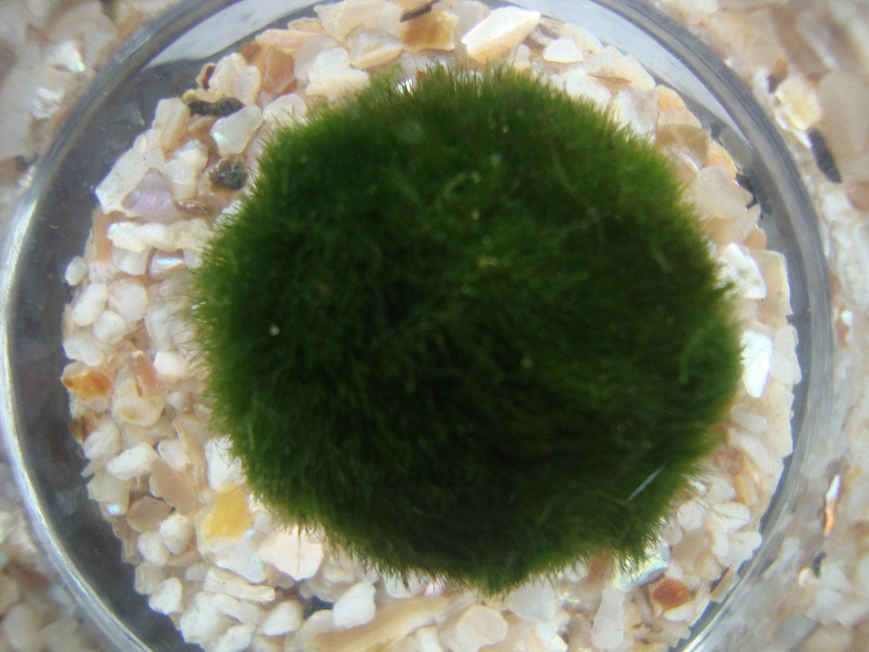 Small nano marimo terrarium aquarium live moss ball for Marimo moss ball