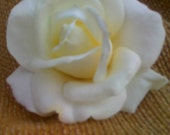 Very Realistic 4 in. White Ivory  Rose Hair Clip Wedding, Bridal