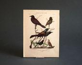Vintage Bird Print - Animal, Botanical, Plate