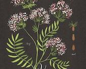 Valerian print 13x19 - Botanical collection - flower plant herbs