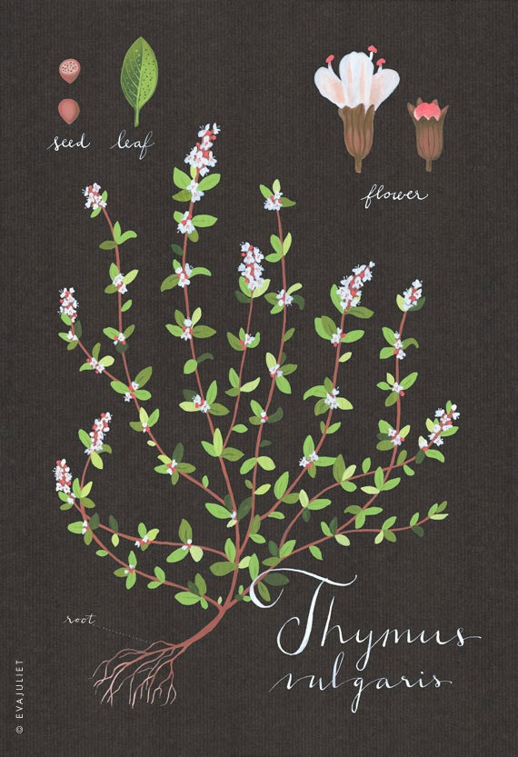 Thyme print 13x19 - Botanical collection - flower plant herbs -