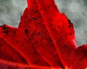 Crimson red autumn leaf, macro photograph, rich red color, 8x12 photo print - TheShutterbugEye