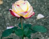 Home Decor, Rose Garden Nature Photography, 5x7 Fine Art Print