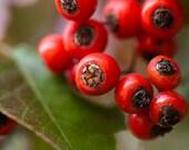 Macro Photography Print, Modern Home Decor, Vibrant Red Berries, Fresh Green Leaves, Christmas Photo,