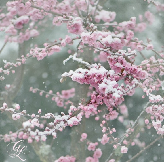 Winter Nature Photography, Snow on Pink Plum Blossoms,  Home Decor, Large Wall Art