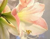 Floral Amaryllis Lily Images for Computer Screen, Scrapbooking, Notecards, Maine, Available in Pink, Enhanced, and BxW
