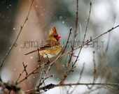 Lady Cardinal in the Snow 8x10 Print