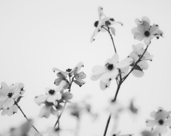Dogwood Flower Photograph titled Black and White -- Limited Editions in Various Sizes