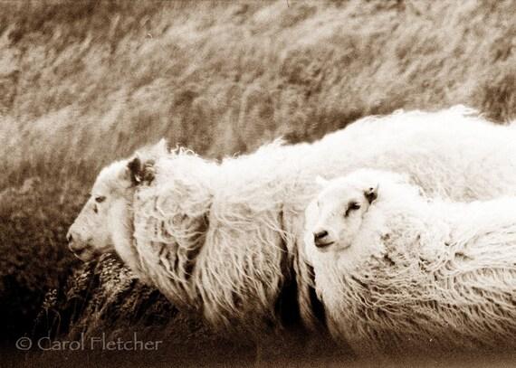 Icelandic Sheep in the Wind - Fine Art Photography Print - 5x7 - Iceland - wool - curls - wild - farm - sepia