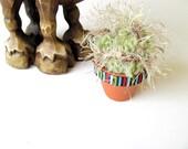 Mini Fiber Old Man Cactus Plant FREE US Shipping