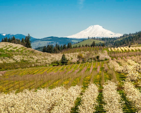 Spring Photo, Landscape Photography Apple Orchard Mountain Photograph Hood River Valley Oregon nat68