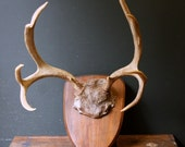 Antler Trophy / Large Ten Point Deer Antlers