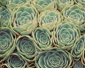 Sea of Succulents - 5x5 Fine Art Photograph