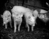 Three Little Pigs, Black and White 8x12 farm livestock living fairy tale