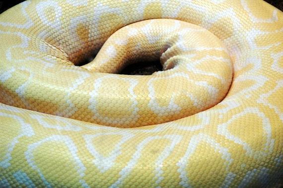 Albino Python, 8x12, rare snake