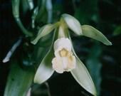 Vanilla fragrance Oil - Cosmetic grade, FDA approves for soaps, perfumes, creams, etc.  2 ounces