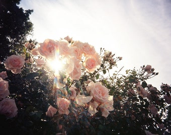 Spring flower photo, rose bush, nature photography, rose photo, pink flowers, sunshine, sunlight, spring, dreamy