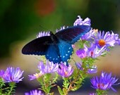 Butterfly Nature Macro Photography 8x10  Home Deco Print- Flower Photography-Landscape -Pinks-Purples-Black-Blue
