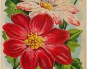 DAHLIA! (Single Giant Perfection) Vintage Flower Seed Packet Tuckers Seed House Lithograph (Carthage, Missouri)