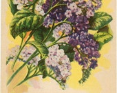 HELIOTROPE! (Finest Mixed) Vintage Flower Seed Packet Tuckers Seed House Lithograph (Carthage, Missouri)