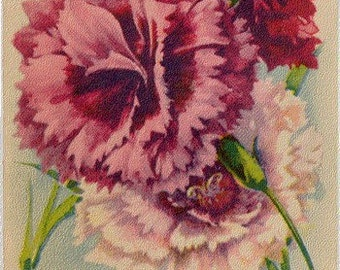 PINKS! (Dianthus Double Finest Mixed) Vintage Flower Seed Packet Tuckers Seed House Lithograph (Carthage, Missouri)