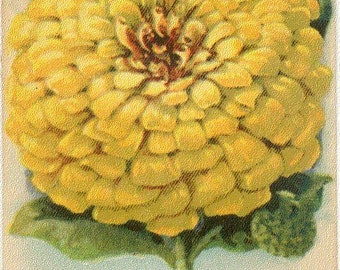 Zinnia! (Desert Gold) Vintage Flower Seed Packet Tuckers Seed House Lithograph (Carthage, Missouri)
