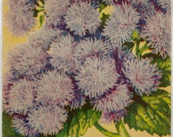 AGERATUM! (Finest Mixed) Vintage Flower Seed Packet Tuckers Seed House Lithograph (Carthage, Missouri)