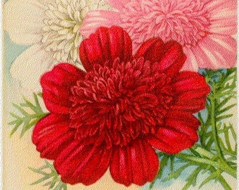 COSMOS! (Double Early Flowering) Vintage Flower Seed Packet Tuckers Seed House Lithograph (Carthage, Missouri)