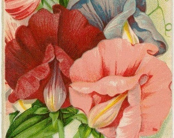 SWEET PEAS! (Spencer Superb Mixture) Vintage Flower Seed Packet Tuckers Seed House Lithograph (Carthage, Missouri)