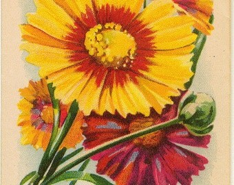 CALLIOPSIS! (Finest Mixed) Vintage Flower Seed Packet Tuckers Seed House Lithograph (Carthage, Missouri)