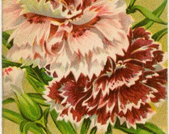DIANTHUS! (Double Imperial Finest Mixed) Vintage Flower Seed Packet Tuckers Seed House Lithograph (Carthage, Missouri)