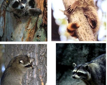 Lot Of 4 Raccoons Fabric Panel Quilt Squares