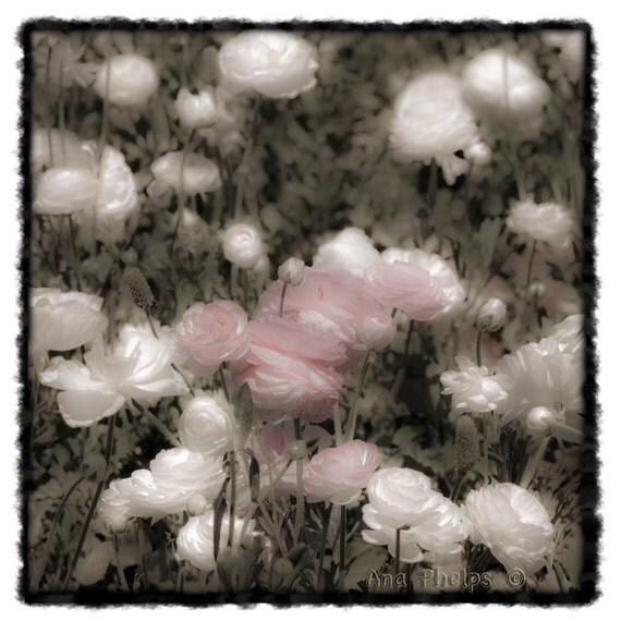 Pink and White Ranunculus Flowers. Fine Art Photography.