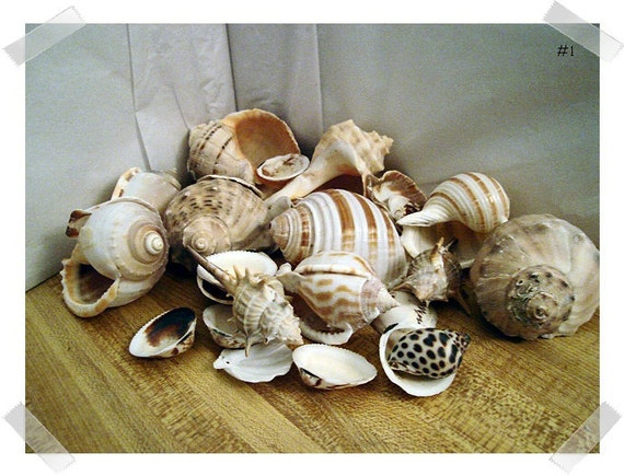 Shell Craft Pieces/Assorted/Craft Supplies*