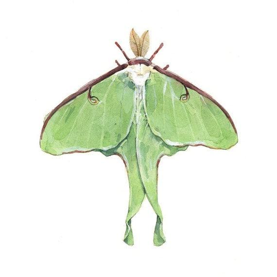 Luna Moth Watercolor Painting Print - Insect illustration